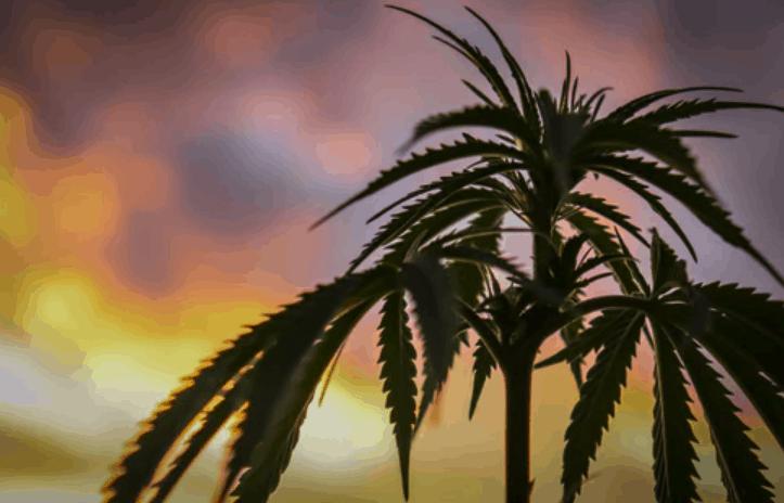cannabis compliance problems dispensary marijuana