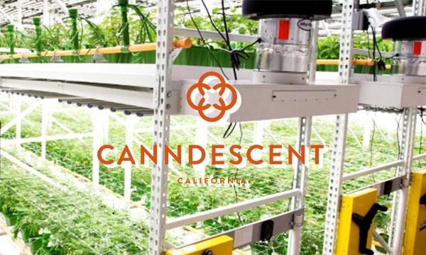 Canndescent cannabis grower cannabis cultivation