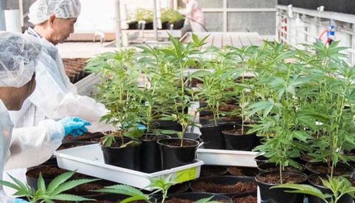 medical marihuana cannabis cultivation