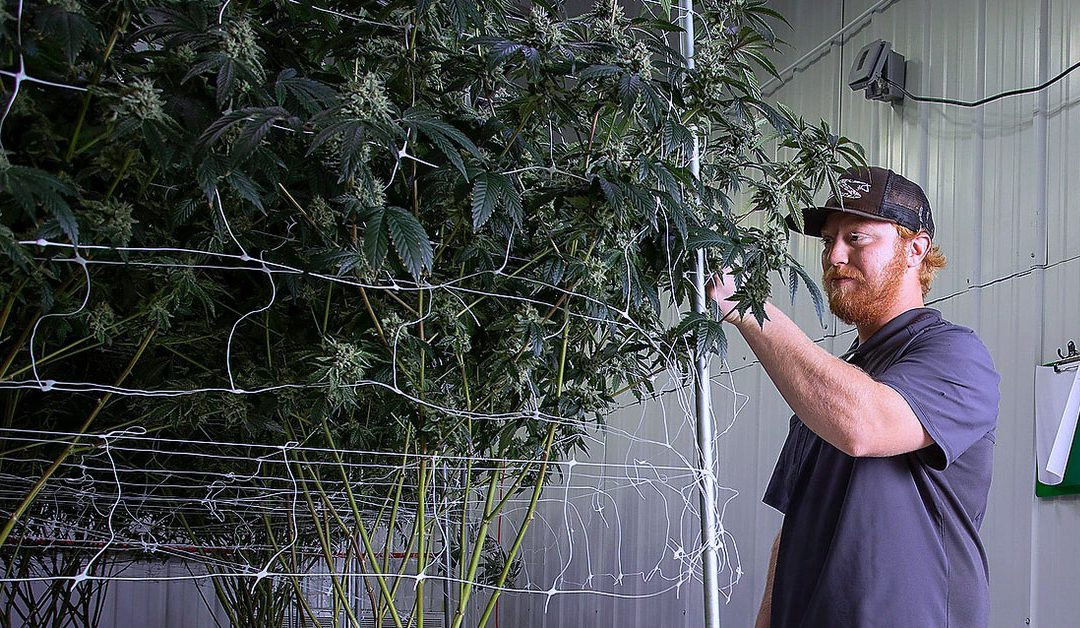 California Cannabis Growers: An Analysis of the Industry's Best