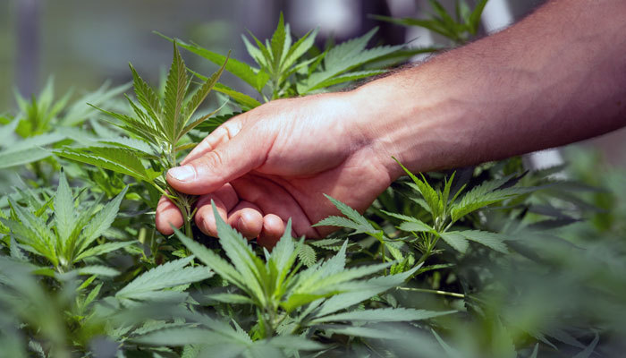Cannabis grower contemplating cannabis Cultivation Laws in Cali