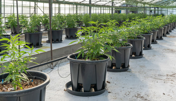 cannabis plants in pots at nursery