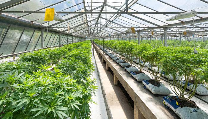 Starting a Nursery for Cannabis