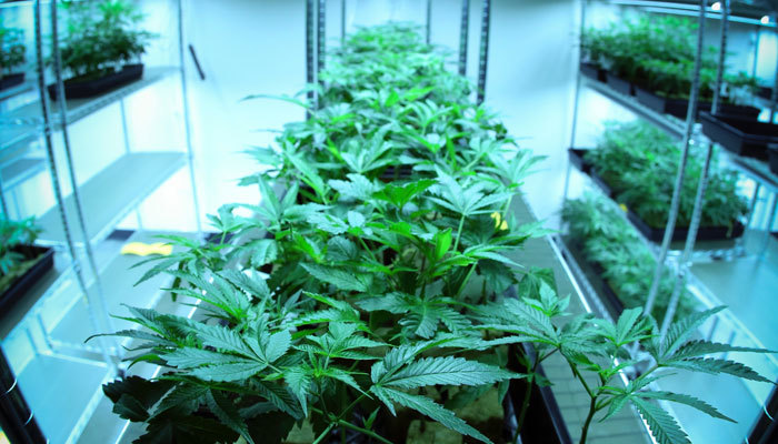 indoor cannabis cultivation operation