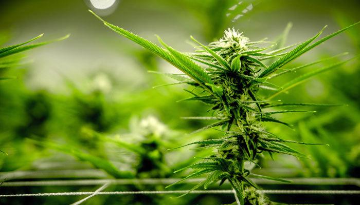indoor cannabis nursery