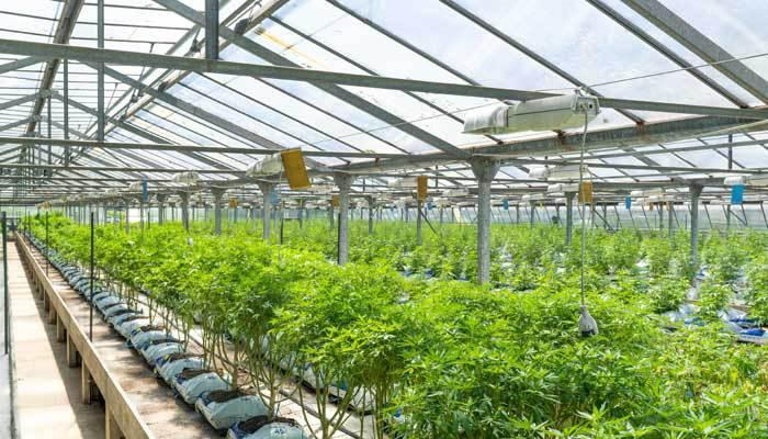 outdoor cannabis nursery greenhouse
