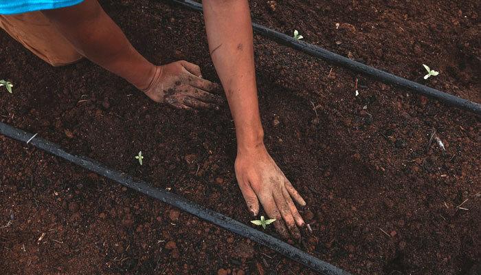 growing cannabis plants in a nursery