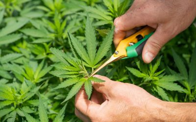 How to Become a Legal Grower in California