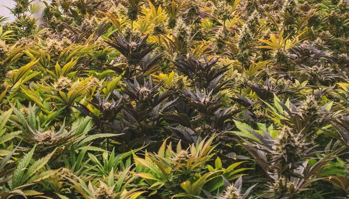 The New Jersey Cannabis Regulatory, Enforcement Assistance, & Modernization Act