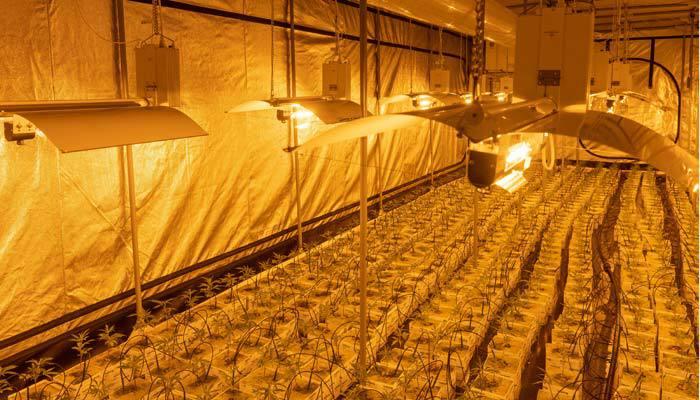 cannabis grow room with lights