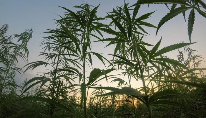 Cultivation of Marijuana Plants in Virginia