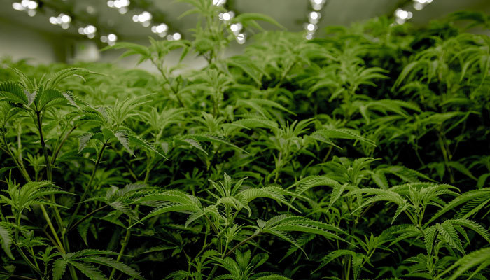 growing cannabis in the legal cannabis industry