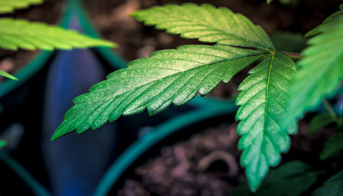 Personal Cultivation Guidelines for Marijuana Plants in Virginia