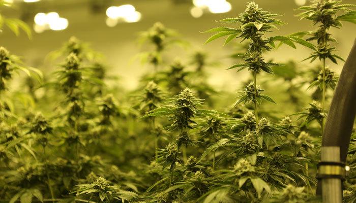 Marijuana Plant Possession in Virginia